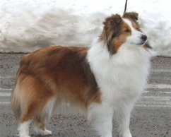 North Shelties Memphis Belle