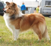 Nuch North Sheltie´s Wine N Roses