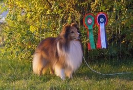 Nuch North Sheltie´s Golden Arrow