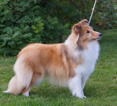 NUCH North Sheltie´s Fire N Ice