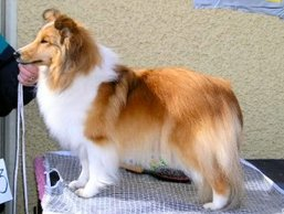 INT N Cz UCH North Sheltie´s Simply Special