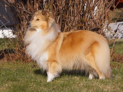 North Sheltie´s Promise Of Gold