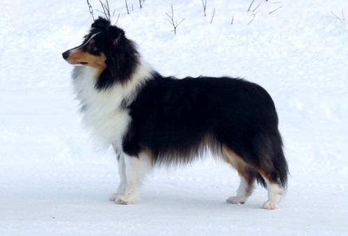North Sheltie´s Made 4 Joy