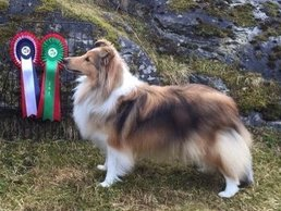 Nuch North Sheltie´s Ring Of Roses